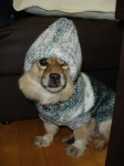 Trying on Bama's dog's sweater, and not exactly loving the hood